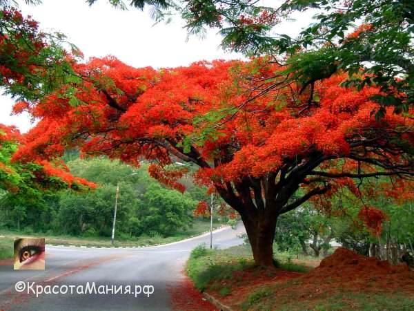 Делоникс королевский-огненное дерево