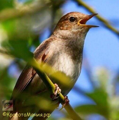 Соловей-птичка певчая