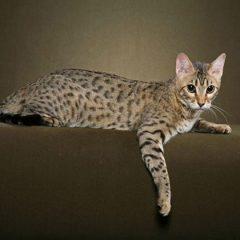 Бенгальская кошка: домашняя копия леопарда, описание породы