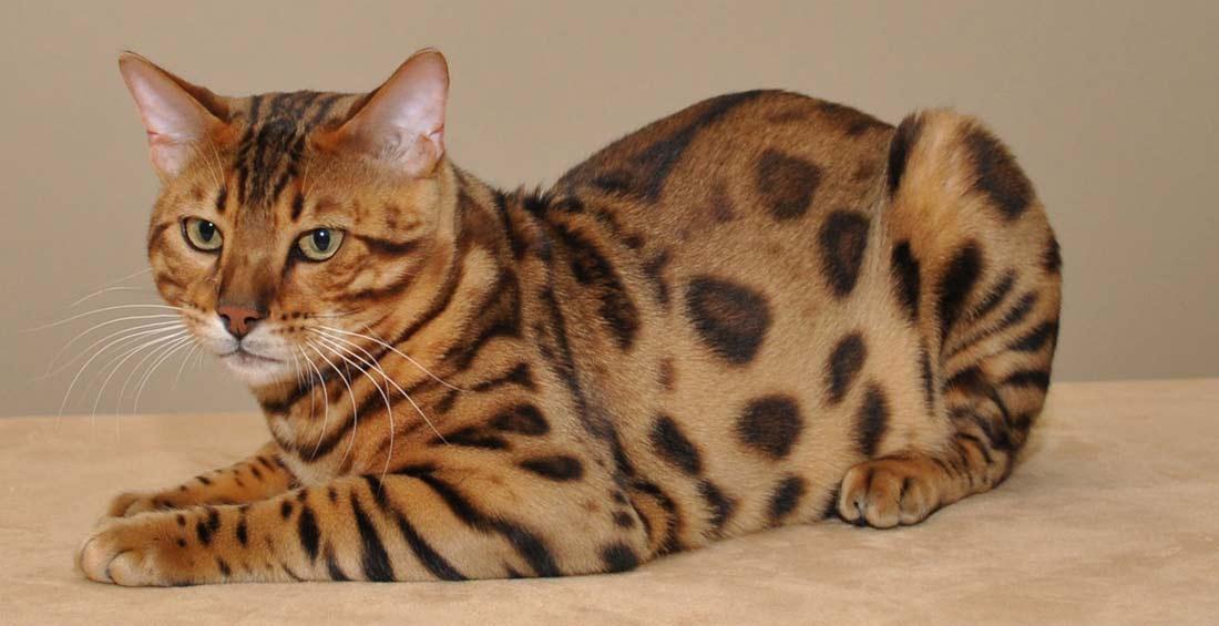 бенгальский кот на фото