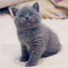 Домашние любимцы: кошки породы британец