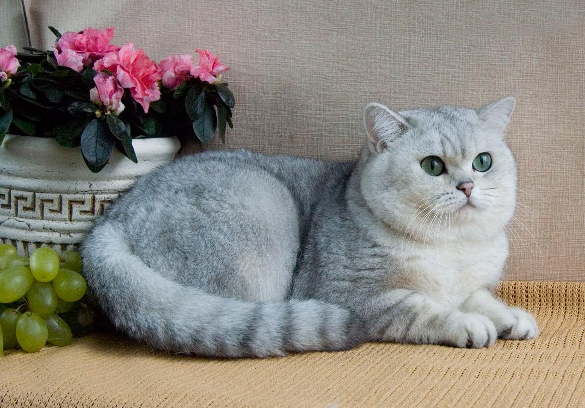 британская кошка возле цветов