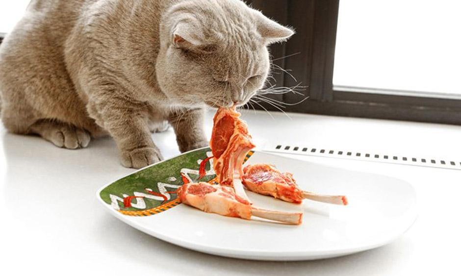 британский котик есть ребрышка
