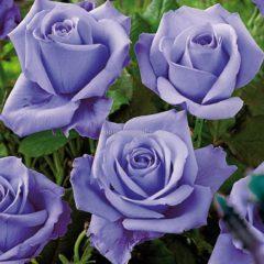 Выбираем чайно гибридные розы